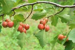 Fruits d'aubépine Photographie stock libre de droits