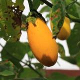 Fruits d'aubergine Photos libres de droits
