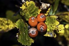 Fruits d'automnes Images libres de droits