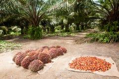 Fruits d'huile de palme Photo stock
