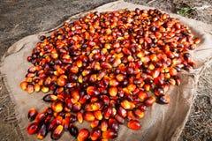 Fruits d'huile de palme Photographie stock
