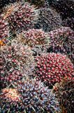Fruits d'huile de palme Image stock