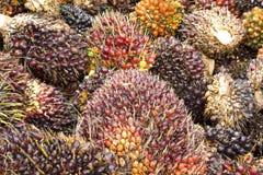 Fruits d'huile de palmier Images stock