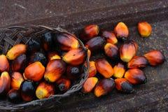 Fruits d'huile de palmier Photos libres de droits