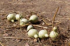 Fruits d'un siceraria de Lagenaria de calebasse sur un champ Photo stock