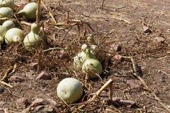 Fruits d'un siceraria de Lagenaria de calebasse sur un champ Photographie stock