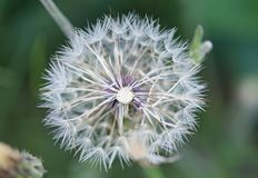 Fruits of the dandelion plant. Taraxacum officinale royalty free stock images