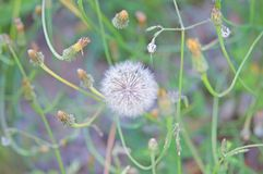 Fruits of the dandelion plant. Taraxacum officinale stock image
