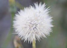 Fruits of the dandelion plant. Taraxacum officinale stock images