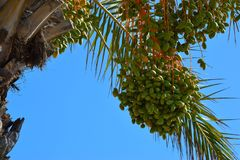 The fruits of the dates Latin Phoenix ripen on a palm tree. The fruits of the dates Latin Phoenix ripen on a palm tree against the blue sky Stock Photography