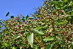 Fruits de baie de sureau Image libre de droits