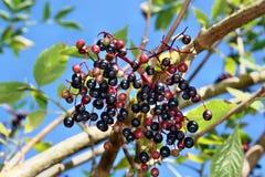Fruits de baie de sureau Photographie stock libre de droits