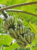 Fruits de banane Image stock