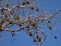 Fruits de baobab sur l'arbre image stock