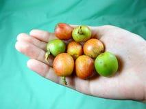 Fruits de café Photographie stock libre de droits