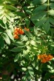 Fruits de cendre de montagne dans la vue de plan rapproché de forêt image stock
