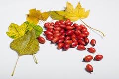 Fruits de chien et feuilles roses de jaune Photographie stock libre de droits