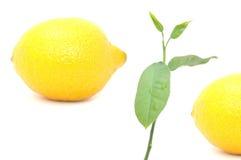 Fruits de citron et plante de citron images libres de droits