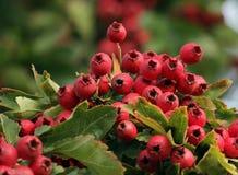 Fruits de coccinea de pyracantha Image stock