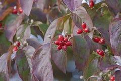 Fruits de cornouiller fleurissant Images libres de droits