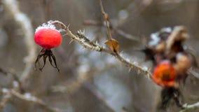 Fruits de cynorrhodon avec de la neige photographie stock libre de droits