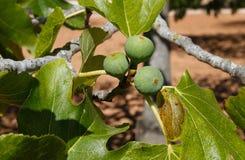 Fruits de figue sur un figuier Photographie stock