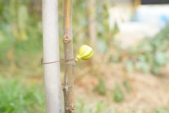 Fruits de figues Photo libre de droits