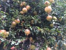Fruits de grenade Photo libre de droits