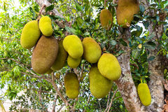 Fruits de Jack Photos stock