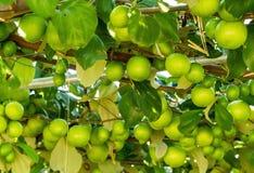 Fruits de jujube sur des arbres Photographie stock libre de droits