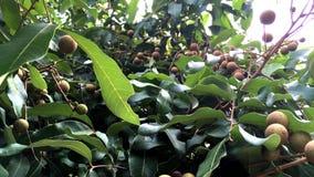 Fruits de Longan accrochant sur l'arbre banque de vidéos