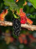 Fruits de mûre sur l'arbre Photographie stock libre de droits