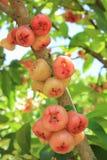 Fruits de malaccense de syzygium Photographie stock