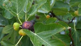 Fruits de maturation des figues sur l'arbre banque de vidéos