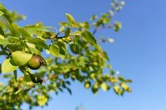 Fruits de maturation de l'arbre fruitier dans le jardin contre le ciel bleu photo stock