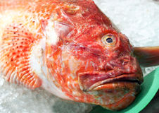 Fruits de mer frais - vue étroite de rascasse rouge (scrofa de Scorpaena) au marché espagnol de fruits de mer photographie stock