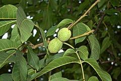 Fruits de noix Photo stock