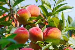 Fruits de pêche sur l'arbre Image stock