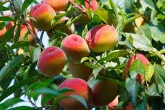 Fruits de pêche sur l'arbre Photographie stock