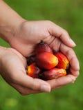 Fruits de palmier à huile Image libre de droits