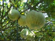 Fruits de pamplemousse Photographie stock libre de droits