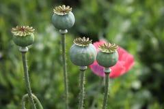 fruits de pavot à opium photos libres de droits