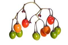 Fruits de poison de Bettersweet Photo libre de droits