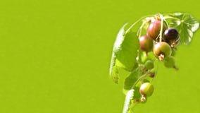 Fruits de ribes de cassis sur le fond vert, bannière pour le site Web avec le concept de jardin images libres de droits