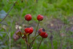 Fruits de Rose Photos stock