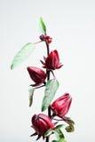 Fruits de Roselle sur l'arbre Photos libres de droits