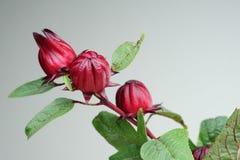 Fruits de Roselle sur l'arbre Image libre de droits