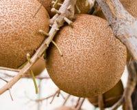 Fruits de Salman images stock