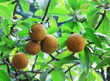 Fruits de sapotille Images libres de droits