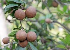 Fruits de sapotille Photo stock